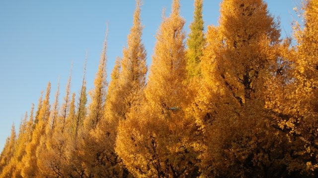 神宮外苑のイチョウ並木