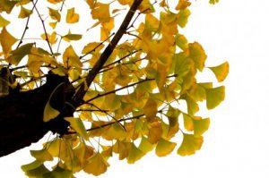 昭和記念公園のいちょうの黄葉