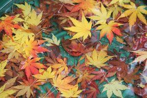 落葉した紅葉
