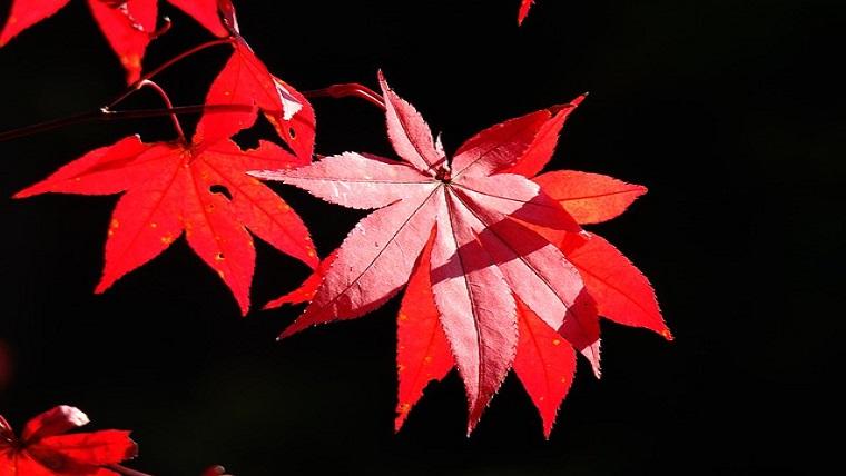 ライトアップに映える色鮮やかな紅葉