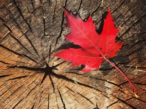 木の株に落ちた色鮮やかな紅葉