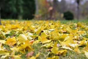 落葉するいちょうの黄葉