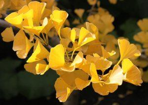 黄葉するイチョウ