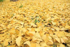 落葉したいちょうの葉