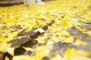 道路に落ちるイチョウの葉