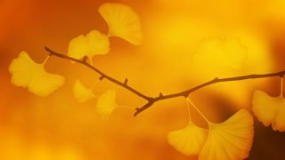 黄葉するイチョウの木