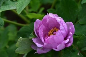 あでやかな紫色のボタンの花