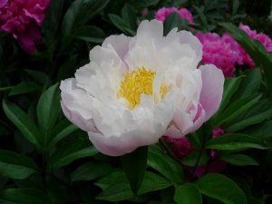 満開の白いボタンの花