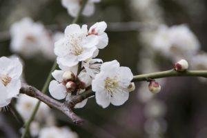 満開の白い梅の花