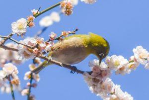 満開の梅の花とメジロ