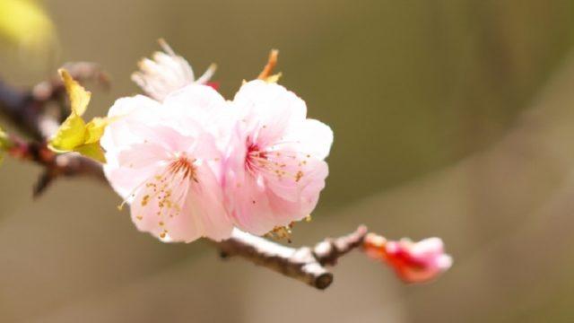 可憐に咲く梅の花