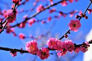 満開のピンクの梅の花