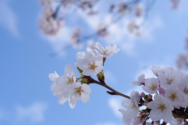 青空の下の満開の桜