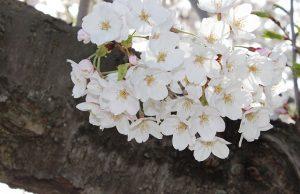 こんもりと咲く満開の桜