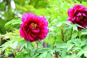 満開のボタンのピンクの花