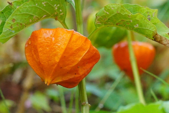 オレンジ色のほおずき