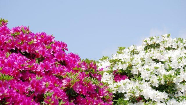 群生するつつじの花木