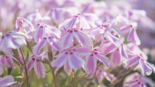 ピンク色の芝桜の花