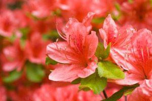 きれいに咲くつつじの花