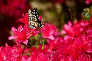 つつじとアゲハ蝶