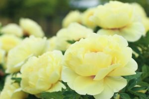 たくさんのボタンの白い花