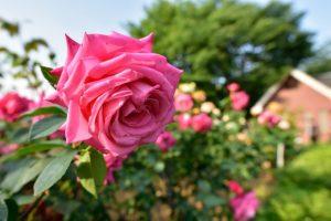 与野公園で咲くピンクのバラ