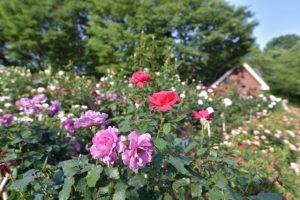 群生する与野公園のバラ
