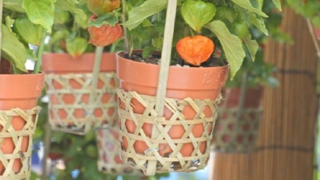 ほおずき市で売られるほおずきの鉢
