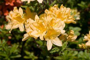 黄色の花を咲かせるキレンゲツツジ