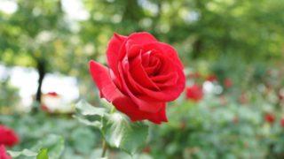 あでやかに咲く赤いバラ