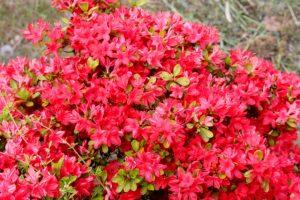 たくさんの花を咲かせるキリシマツツジ