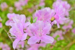 可憐な花を咲かせるミツバツツジ