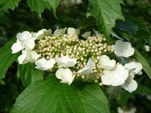 美しく咲く白いガクアジサイ