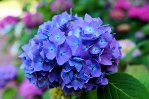 満開の青いあじさい