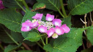 美しく咲くピンクのガクアジサイ