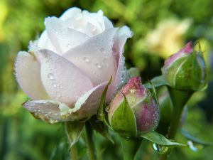 美しく咲くピンクのバラ