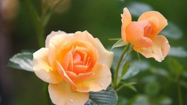 オレンジ色のバラの花
