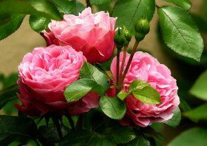 たくさんの花を咲かせるピンクのバラ