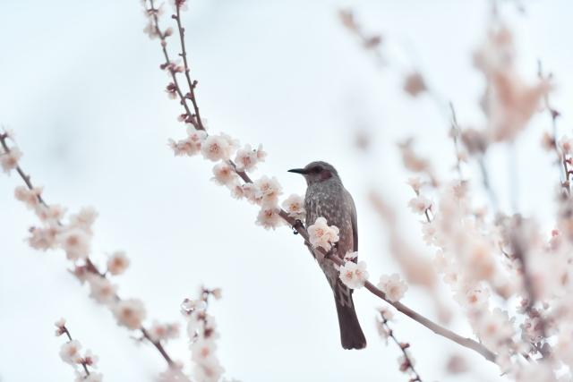 満開の梅にとまる小鳥