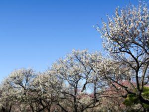 大宮第二公園の満開の梅