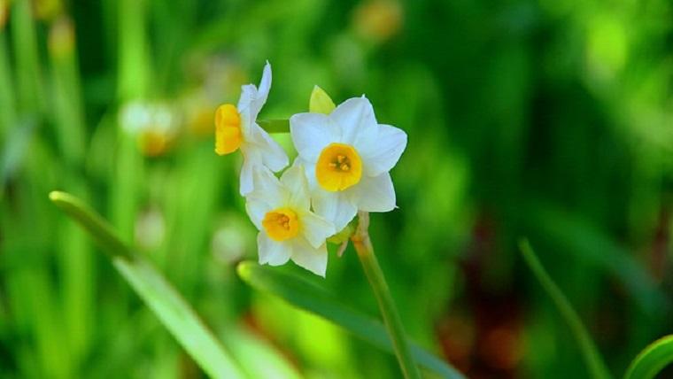 可憐に咲く水仙