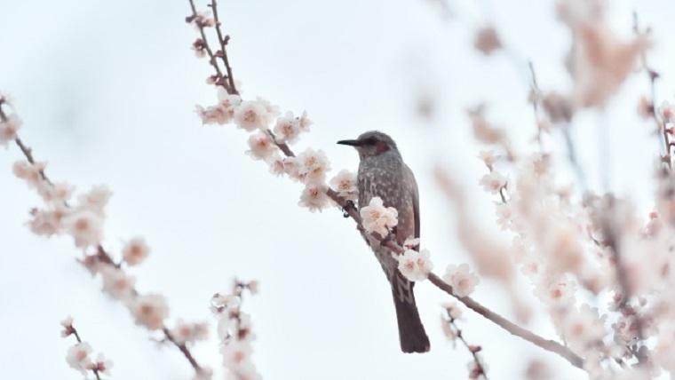 満開の梅にとまる鳥
