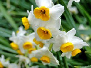 ニホンズイセンの白い花
