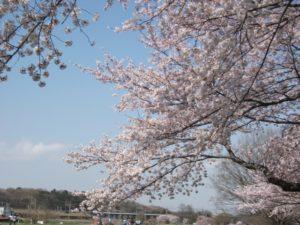 柳瀬川の満開の桜