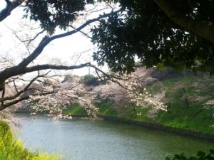 千鳥ヶ淵公園の桜と菜の花