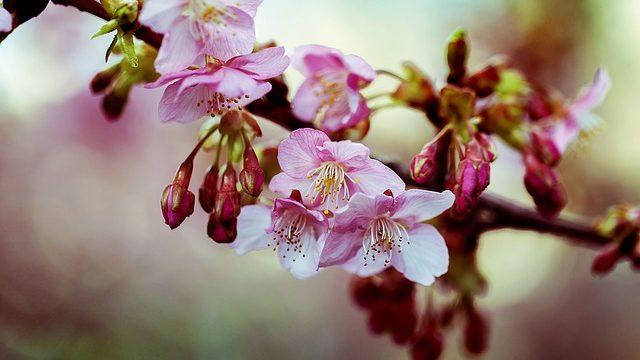 咲き始めの河津桜