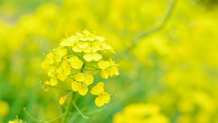 東京に咲く菜の花
