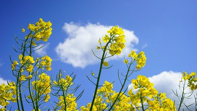 満開の菜の花と青い空