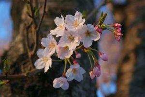 木の幹に咲く桜