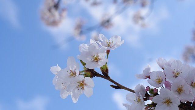 満開の桜と青い空
